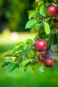 photo of apple tree branch with apples on it