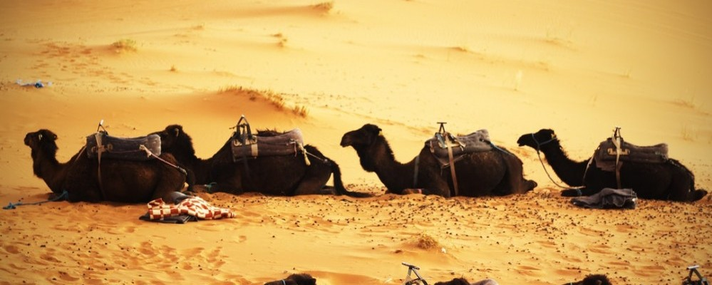 photo of camels in the desert